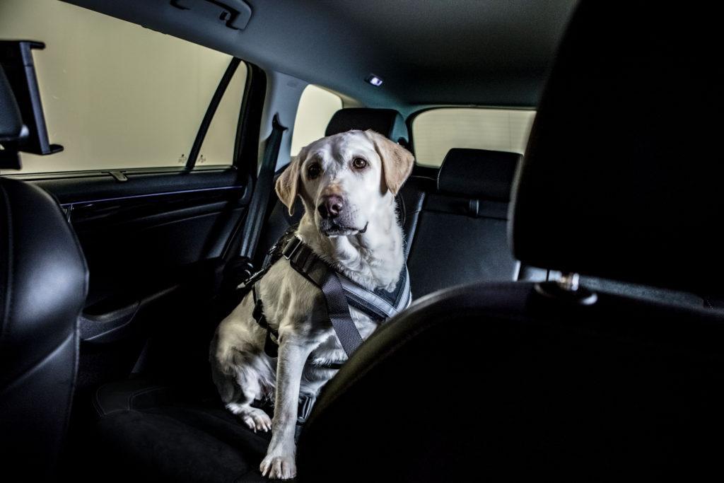 przewoz zwierzat - pies pasy