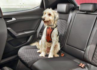 Jak poprawić bezpieczeństwo na drogach? Każdy musi mieć... psa!