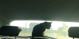 Kot w radiowozie